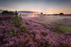 Sunrise over flowering pink heather Stock Images