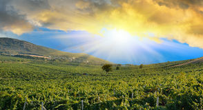 Sunrise over a grape field Stock Image