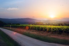 Sunrise over grape Vineyard; summer winery region morning landsc Royalty Free Stock Image