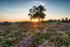 New Forest Sunrise. Sunrise over heather on Rockford Common near Ibsley in the New Forest National Park in Hampshire stock photos