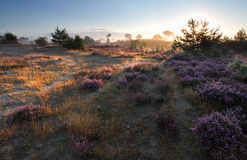 Sunrise over heathland and pine trees. In summer Royalty Free Stock Photo