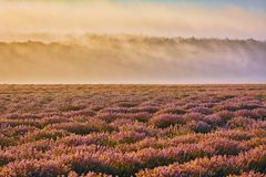 Lavender Field in the Morning Stock Photo