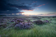 Sunrise over marsh with flowering heather Royalty Free Stock Photography