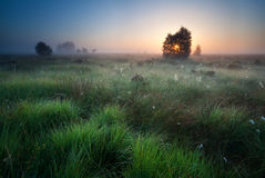 Sunrise over marsh with spidernets ans cotton-grass Royalty Free Stock Image