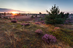 Sunrise over meadows with flowering heather Stock Images