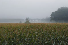 Mist above agriculture maize, corn field. Morning mist with corn field surrounded by forest stock photography