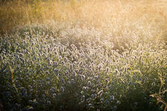 Sunrise over the misty meadow Royalty Free Stock Photo