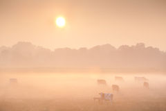 Sunrise over misty pasture with cows Royalty Free Stock Photo