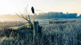 Sunrise over a misty pond with broken tree trunk and raven royalty free stock image