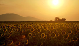 Sunrise over the mountain and sunflower field Stock Image