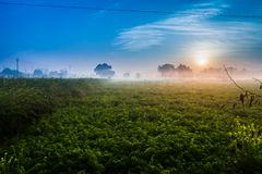 Sunrise over mustard field Stock Photo