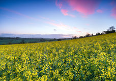 Sunrise over Mustard Seed Fields Royalty Free Stock Photography