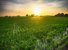 Sunrise over paddyfield Stock Photography