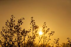 Sunrise over rapeseed field in silhouette. And orange color stock photography