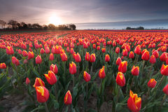 Sunrise over red tulip field Royalty Free Stock Photos