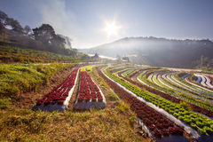 Free Sunrise Over Salad Vegetable Field Stock Photography - 37794072