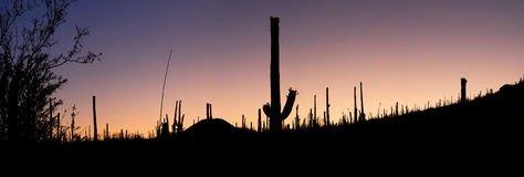 Sunrise over Sonoran Desert. Sunrise in Sonoran Desert with Saguaro silhouettes Royalty Free Stock Photo