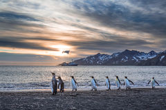 Sunrise over St Andrews Bay. On South Georgia with king penguins in the foreground stock images