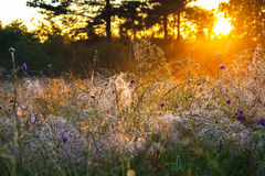 Sunrise over a summer blossoming meadow Stock Photos