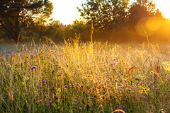 Sunrise over a summer blossoming meadow Royalty Free Stock Photos