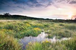 Sunrise over swamp with bog asphodel flowers Stock Photos