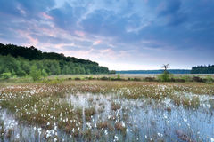 Sunrise over swamp with cotton grass Stock Photography