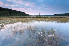Sunrise over swamp with cotton grass Stock Image
