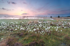 Sunrise over swamp with cottongrass Royalty Free Stock Photos
