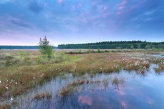 Sunrise over swamp with wild cotton grass Royalty Free Stock Photo