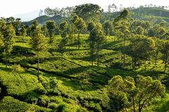 Sunrise over the tea plantations Royalty Free Stock Images
