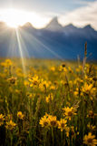 Sunrise over the Tetons and wildflowers Royalty Free Stock Image