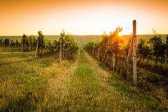 Sunrise over a vineyard Stock Photo