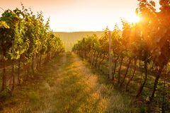 Sunrise over a vineyard Stock Photos