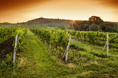 Sunrise over a vineyard Royalty Free Stock Image
