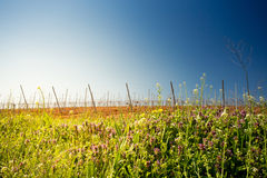 Sunrise over a vineyard Royalty Free Stock Photography