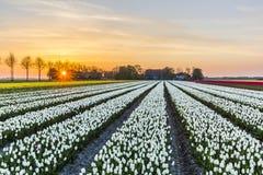 Sunrise over the white tulip field in the Noordoostpolder municipality, Flevoland. Netherlands Royalty Free Stock Photo