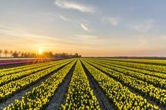 Sunrise over the yellow tulip field in the Noordoostpolder municipality, Flevoland. Netherlands Royalty Free Stock Image