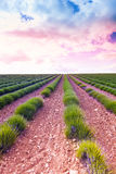 Sunrise over young lavender field Stock Photography