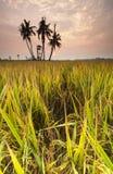 Sunrise at Paddy field, Sekinchan. Royalty Free Stock Photos