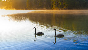 Sunrise at Pangoung with swan, Thailand Stock Image