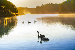 Sunrise at Pangoung with swan, Thailand Royalty Free Stock Image