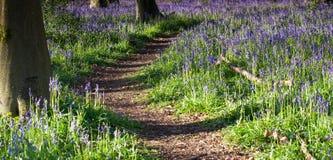 Sunrise path through bluebell woods Stock Image