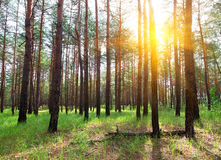 Sunrise in a pine forest Royalty Free Stock Images