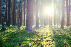 Sunrise in pine forest Royalty Free Stock Images