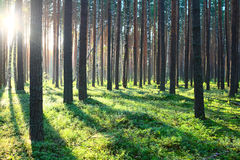 Sunrise in pine forest Royalty Free Stock Image