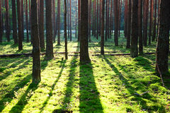 Sunrise in pine forest Stock Image