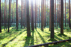 Sunrise in pine forest Stock Photography