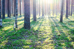 Sunrise in pine forest Stock Photos