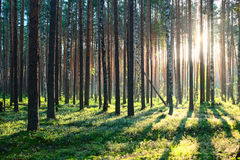 Sunrise in pine forest Stock Images