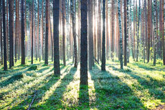 Sunrise in pine forest. Early morning with sunrise in pine forest royalty free stock photo